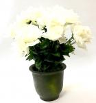 White Rose Bush In Pot